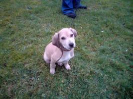 Labrador-Mix 3 Monate alt sucht liebevolles Zuhause