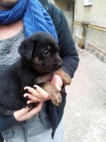 Foto 3 Labrador Mix Welpen