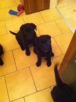 Foto 4 Labrador-Mix Welpen zu Verkaufen