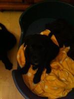 Foto 5 Labrador-Mix Welpen zu Verkaufen
