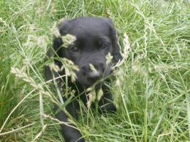 Foto 5 Labrador-Mix-Welpen suchen liebe Familie!!!