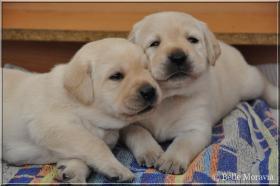 Foto 4 Labrador Reriever mit Stammbaum FCI - gelbe Welpen - Hündinnen