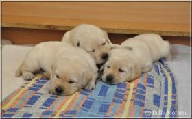 Foto 5 Labrador Reriever mit Stammbaum FCI - gelbe Welpen - Hündinnen