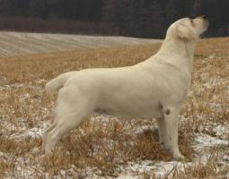 Labrador-Retriever Gelbe Welpen mit Papiere