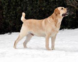 Foto 2 Labrador-Retriever Gelbe Welpen mit Papiere