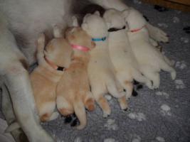 Foto 3 Labrador-Retriever Gelbe Welpen mit Papiere