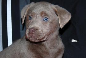 Labrador Retriever H�ndin ''Sina'' Silber  mit Traumhaften Augen