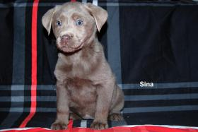 Foto 2 Labrador Retriever H�ndin ''Sina'' Silber  mit Traumhaften Augen