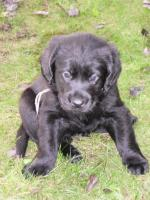 Labrador/Retriever-Mix Welpen