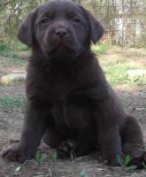 Labrador Retriever mit Papiere  SCHOKO-WELPEN