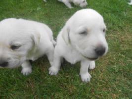 Labrador Retriever nach Therapie geführten Eltern