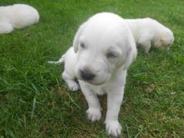 Foto 2 Labrador Retriever nach Therapie geführten Eltern