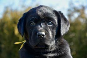 Labrador Retriever Welpe (Rüde)
