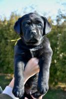 Foto 2 Labrador Retriever Welpe (Rüde)
