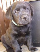 Foto 4 Labrador Retriever Welpen