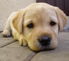 Foto 5 Labrador Retriever Welpen