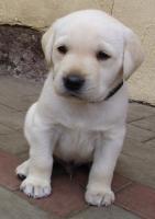 Foto 9 Labrador Retriever Welpen