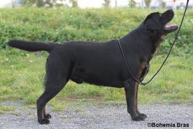 Labrador Retriever Welpen FCI