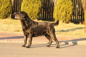 Foto 2 Labrador Retriever Welpen FCI