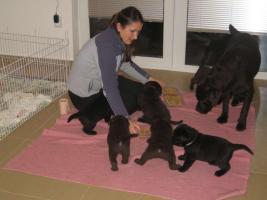 Foto 2 Labrador Retriever Welpen mit Papieren