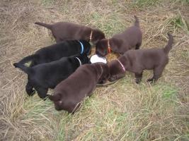 Foto 4 Labrador Retriever Welpen mit Papieren