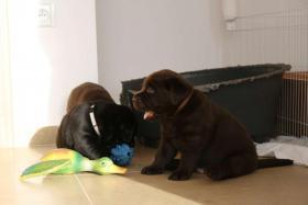 Foto 5 Labrador Retriever Welpen mit Papieren