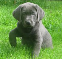 Labrador Retriever Welpen, Silber