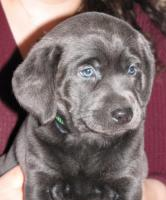 Foto 3 Labrador Retriever Welpen, Silber