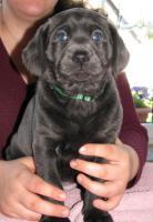 Foto 4 Labrador Retriever Welpen, Silber