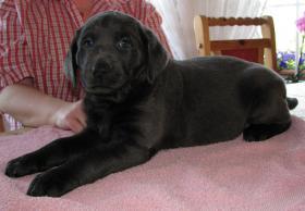 Foto 6 Labrador Retriever Welpen, Silber