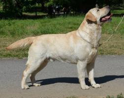 Labrador Retriever gelbe Welpen mit Papiere