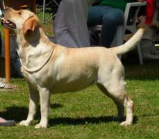 Foto 2 Labrador Retriever gelbe Welpen mit Papiere