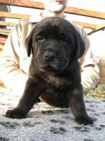 Labrador Retriever schocko Rüden mit Papiere