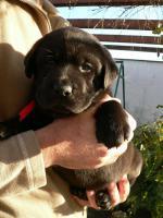 Foto 3 Labrador Retriever schocko Rüden mit Papiere