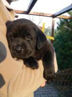 Foto 4 Labrador Retriever schocko Rüden mit Papiere