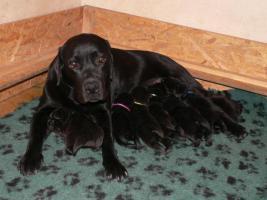 Foto 5 Labrador Retriever schocko Rüden mit Papiere
