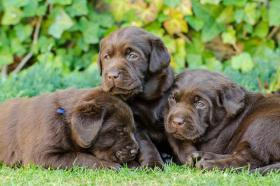 Labrador Retriever (schokobraun mit Stammbaum)