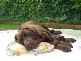 Foto 2 Labrador Retriever (schokobraun mit Stammbaum)