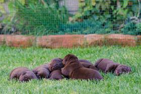 Foto 3 Labrador Retriever (schokobraun mit Stammbaum)