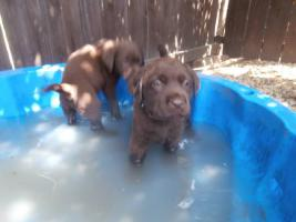 Foto 4 Labrador-Retriever schokoladenbraun Welpen