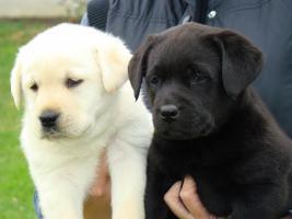 Foto 4 Labrador Retriever wundersch�ne Welpen