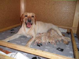 Foto 2 Labrador-Retriever - gelbe Welpen