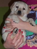 Foto 3 Labrador-Retriever - gelbe Welpen