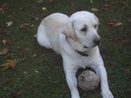 Labrador Rüde Weisser