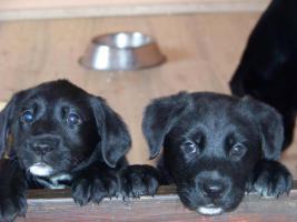 Labrador-Schäferhund-Welpen zu verkaufen!