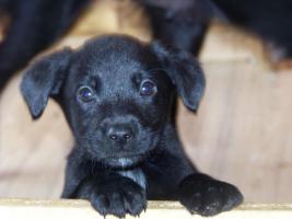 Foto 2 Labrador-Schäferhund-Welpen zu verkaufen!