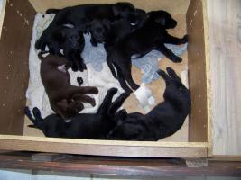 Foto 3 Labrador-Schäferhund-Welpen zu verkaufen!