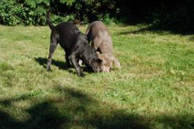 Foto 2 Labrador in Silber abzugeben