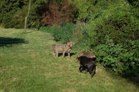 Foto 4 Labrador in Silber abzugeben