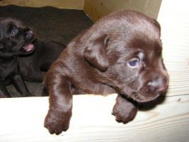 Foto 3 Labrador Welpe